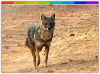 Jackal in Daying Wildlife Sanctuary Arunachal Pradesh