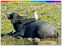 Asian Water Buffalo in Manas National Park Assam