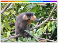 Capped Langur In Nameri National Park Assam