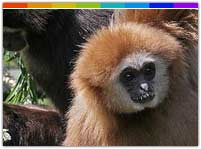 Hoolock Gibbon at Itanki Wildlife Sanctuary Nagaland
