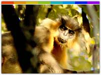 Capped Langur at Sepahijala Wildlife Sanctuary, Tripura
